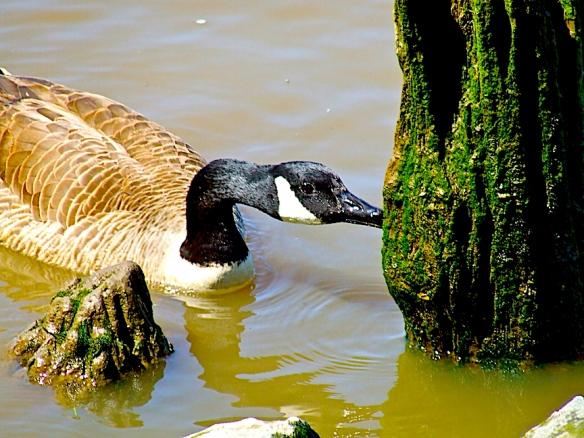 Duck Diner copy